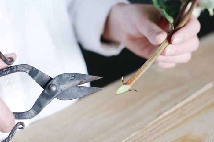 平均的な切り花の長さに比べて少し丈が短いクリスマスローズは、飾りやすい長さを残すため、下準備で茎先を切る場合は出来るだけ短く、約1cm弱くらいを目安に切りましょう。きれいな水を張った容器の中でよく切れるハサミを使って行いましょう。