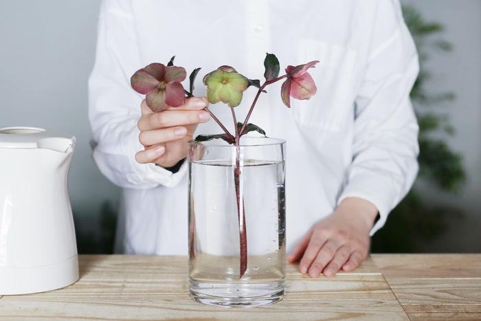 万が一、水下がりが生じた場合は「湯あげ」が有功です。茎先を切った後に40度のお湯に茎全体を浸け、そのまま水が冷めるまで置いておくと、シャキッと上がります。一般的な方法とは異なる、ぬるま湯につけて湯あげする方法はクリスマスローズ独自のもの。