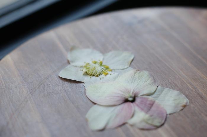 クリスマスローズの花びらの様に見える部分は花ではなく萼(がく)のため、水分が抜けても散りません。押し花にしてもしっかりと形が残りきれいに仕上がるので試してみる価値あり!美しい姿を永遠に閉じ込めて…。