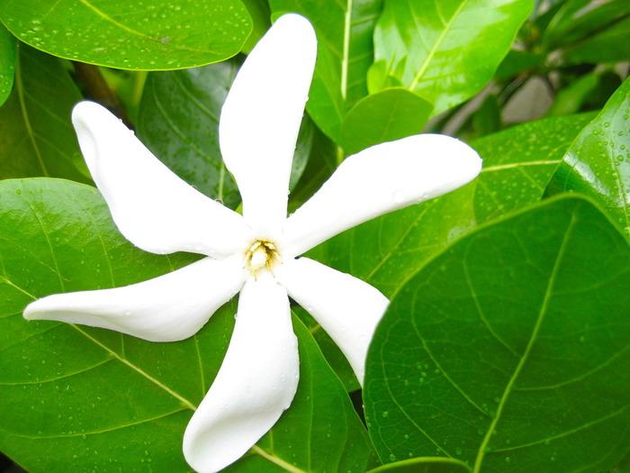 """タヒチの国花は写真の「ティアレ・タヒチ」。タヒチと日本をつなぐ「エア タヒチ ヌイ」の機体にも描かれています。 雨に濡れるとうっすら透けて美しく、花びらの数は5枚~7枚ほど。""""8枚のティアレ""""を見つけたら""""幸福になれる""""といわれています。  ホテル敷地内や公園など、いろいろなところにティアレはあるので、よ~く探してみましょう。蕾はすがすがしい香りで、花が開くと甘い香りになります。"""