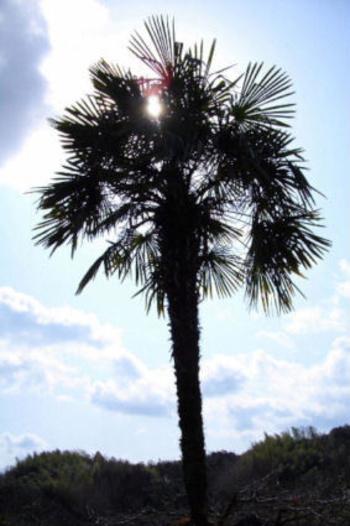 ドーンと空に向かってそびえる『棕櫚』は南九州が原産のヤシ科の植物です。箒として使うのは、幹のこの沢山のヒゲに覆われたような外側の部分です。なんとなく、箒の面影?がありますよね。  このモシャモシャとヒゲを生やした棕櫚の皮は、見た目からは少し想像しにくいかもしれませんが、とてもしなやかで強い繊維から出来ているんです。