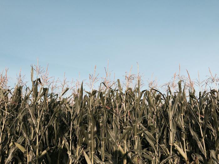 江戸箒の材料となっているのは、トウモロコシにそっくりな、その名も『ホウキモロコシ』。イネ科の植物です。