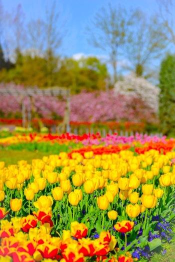 3月中旬~4月下旬にかけて、約450品種・30万本ものチューリップが開花し、センター内は楽園のような景色となります。