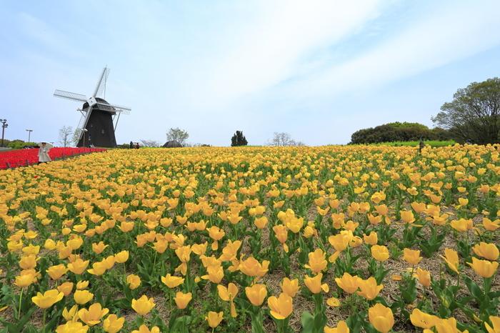 1990年に開催された「花の万博」の会場となった花博記念公園鶴見緑地では、年間を通じて様々な花々や自然とふれあうことができます。風車を背景に一面のチューリップ畑が広がる大花壇前は、まるで一枚の絵画のようです。