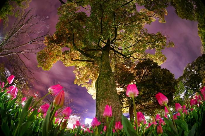 四季折々で美しい花々が開花することでしられている横浜公園ですが、チューリップについては特に有名で「チューリップの咲く公園」として横浜市民に親しまれています。