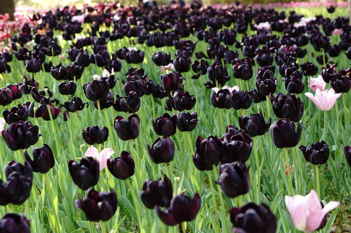 公園内で咲くチューリップは約16万本です。様々な品種のチューリップが植えられている横浜公園では、珍しい黒色のチューリップを見ることもできます。