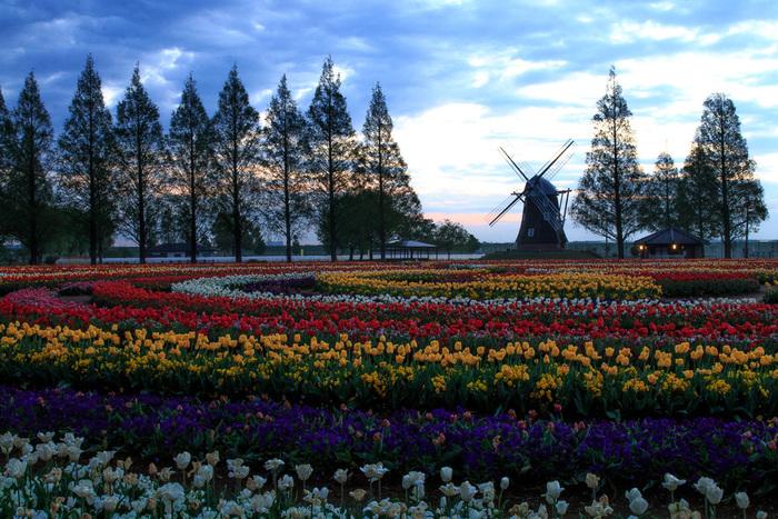 広大な花壇を彩るチューリップの花、背の高い樹々、花壇の背後にある風車が織りなす景色は、まるでヨーロッパの田園風景のようです。