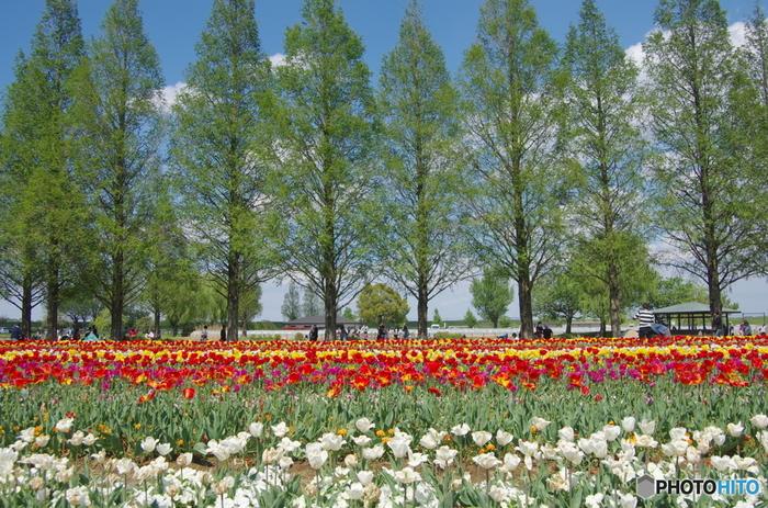 あけぼの山農業公園は、千葉県有数の桜の名所として知られているほか、年間を通じて様々な体験型イベントが行われています。一年中様々な花が次々と見頃を迎えるあけぼの山農業公園では、毎年4月中旬から下旬にかけてチューリップが満開に咲き誇ります。