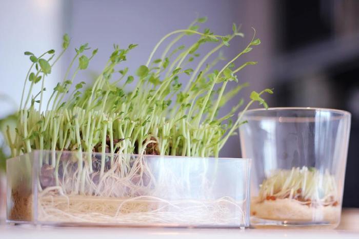 残り野菜を育てて収穫することに慣れたら、いろいろなものに挑戦してみたくなりますよね。たとえば、キャベツの芯を使って葉っぱを再収穫することもできちゃいます。野菜を最後まで味わって楽しむいろいろなキッチン菜園を紹介したサイトを参考にしてみてくださいね。