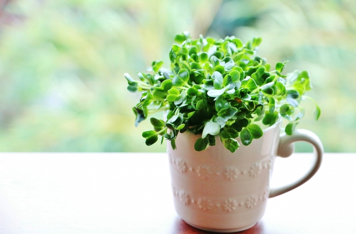 かいわれ大根やブロッコリースプラウトなど、サラダのアクセントに使いたい野菜の育て方のサイトです。いろいろな種の紹介もあるので、育ててみたいものが見つけられそう。ぜひ参考にしてみてください。