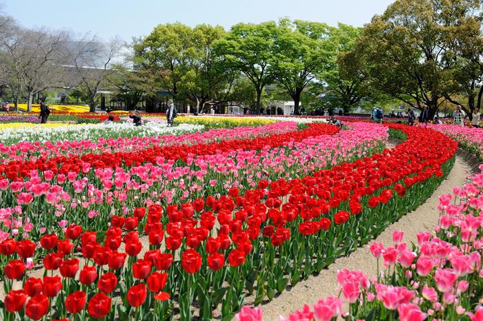 広大な花壇に、色とりどりのチューリップが咲き誇る様は、大地にカラフルな絨毯を敷き詰めたかのようです。
