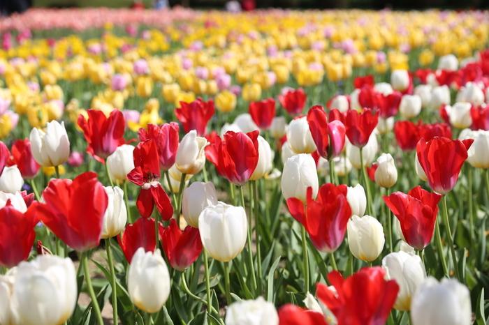 赤、白、黄色のチューリップの花が咲いている花壇の側を歩いていると、童謡「チューリップの歌」の世界に迷い込んだような錯覚を感じます。