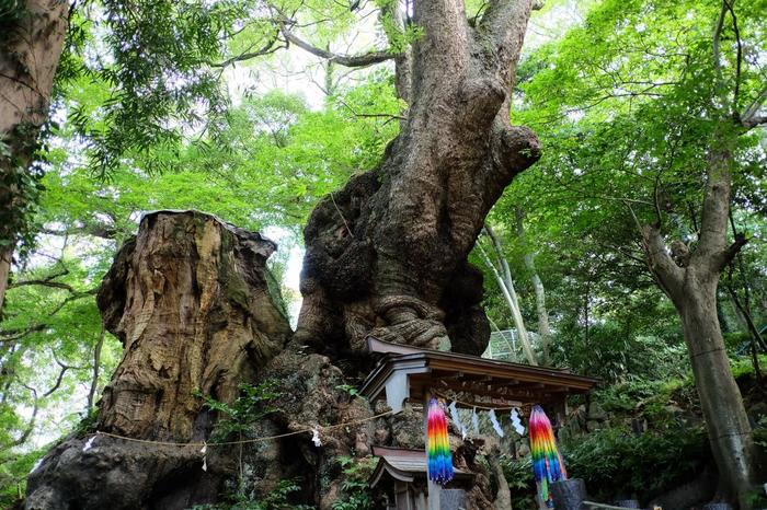 参道を進んだ正面に、御祭神を祀る「本殿」、そして本殿の左奥に御神木の「大楠」が威風堂々とそびえています。この御神木は、国指定の天然記念物。全国第二位を誇る巨樹で、樹齢は2000年を越えると云われています。  【全国一位の巨樹は、鹿児島県の「蒲生八幡神社」の大楠ですが、樹齢は1500年ですので、樹齢と大きさを考慮すれば、当宮の大楠の凄さが並大抵のことではないことが分かります。】