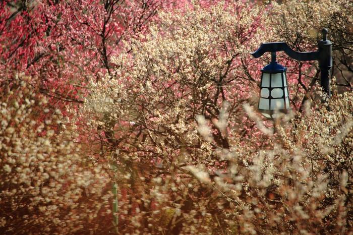 春の訪れ早い温暖な「熱海」では、1月から梅花や桜花が楽しめます。一足早く春を満喫するのなら、自然豊かな梅園や庭園に足を運んでみましょう。【画像は、「熱海梅園」内に建つ「中山晋平記念館」の庭に咲く、紅白のとりどりの梅花。】