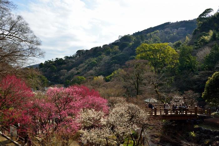 """JR来宮駅から徒歩10分にある「熱海梅園」は、日本一の""""早咲き梅""""と""""遅い紅葉""""で知られる、古くから人気の観光スポットです。【2月上旬頃の園内】"""