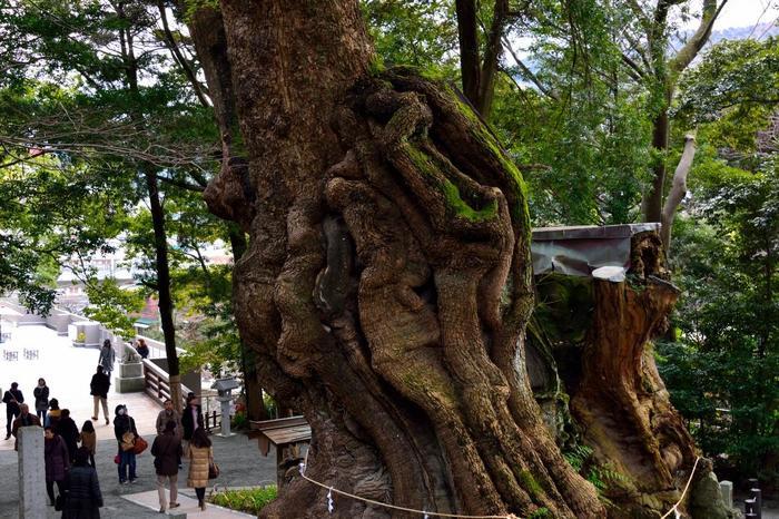 """「來宮神社」で特に有名なのが、御神木「大楠(おおくす)」です。""""健康長寿・心願成就""""の巨樹として崇められ、その御利益を授かりに、一年を通して多くの参拝者が訪れます。"""