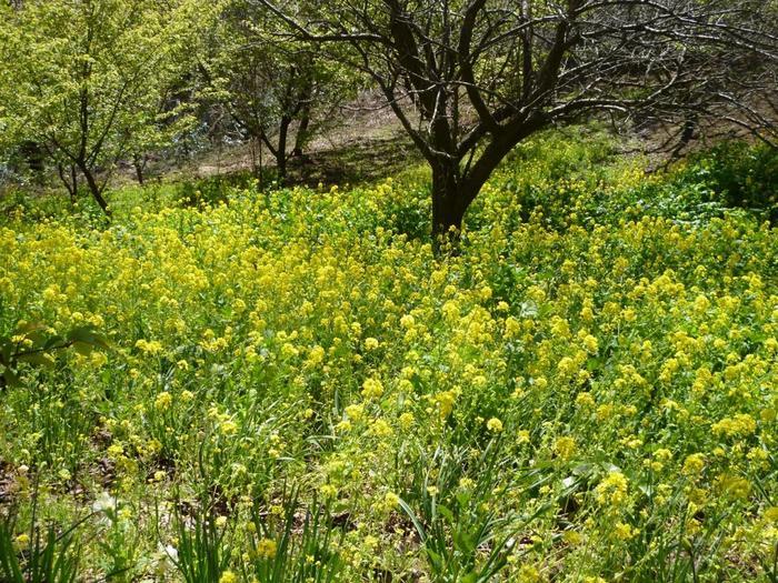 といっても、当園はバラだけでなく、伊豆半島に燦燦と降り注ぐ光を受けて、一年を通じて様々な花々が園内を彩ります。 【3月中旬頃の園内の斜面いっぱいに咲き開く菜の花】