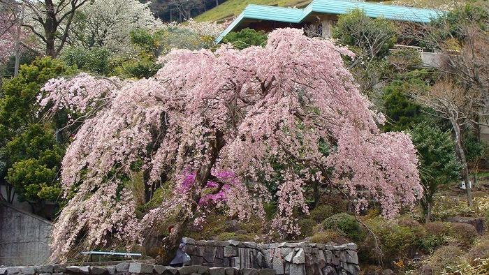 """「熱海姫の沢公園」は、日本都市公園100選指定公園の一つ。 100万㎡を有に超える敷地面積を誇り、相模湾を眼下におさめる広大な自然公園です。春の頃は、染井吉野の他、""""緋寒桜(ヒカンザクラ)""""や""""大島桜""""、""""豆桜(マメザクラ)""""等など、多彩な桜が園内を彩ります。  当園は、桜に続き、ツツジや石楠花(シャクナゲ)、夏の紫陽花や睡蓮、秋の紅葉、冬は山茶花など、一年を通じて様々な草花を楽しむことが出来ます。  また、園内には、スポーツ広場やアスレチックコースが整備され、宿泊施設やキャンプ場、陶芸センターもあるので、アクティブに休日を過ごしたい方、家族や友人と共に過ごしたい方にお勧めのスポットです。【画像は、4月中旬頃の園内の枝垂れ桜。】"""