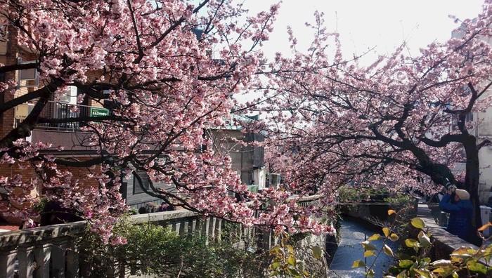 """毎年1月上旬から2月にかけて咲き、市内各所で""""あたみ桜""""が楽しめます。その中でも特に有名なのが、市街を流れる糸川沿いの桜並木です。  毎年、糸川遊歩道沿いでは、1月下旬から2月上旬に「あたみ桜 糸川桜まつり」が開催されています。開催期間中は、夜間にライトアップ、また週末や祭日にはイベントが催されます。【2月中旬の糸川遊歩道】"""