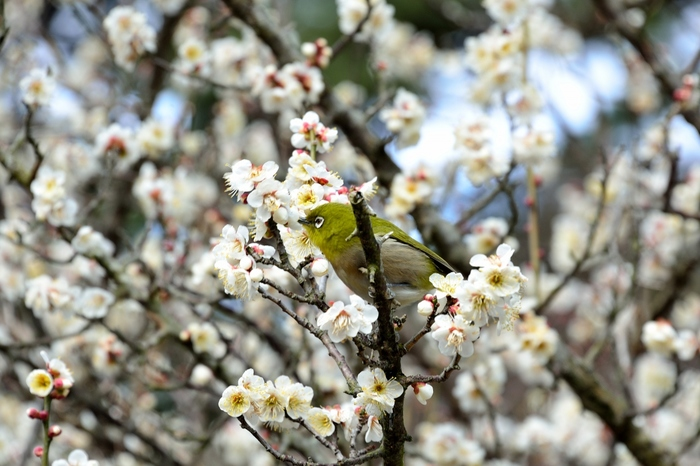 日本一早咲きの梅が植樹された当園では、毎年1月初旬から3月初旬にかけて「熱海梅園まつり」が開催されています。当時期は、梅だけでなく、早咲きの桜・あたみ桜や福寿草、ロウバイなども咲き誇り、早春から春の花々も楽しめます。【2月初旬の頃の園内】