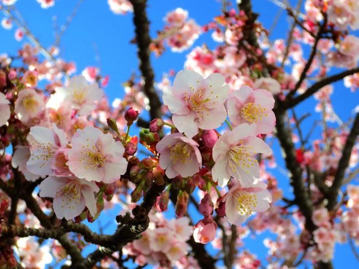 """伊豆の早咲きの桜といえば、「河津桜」が有名ですが、国内で最も早く桜は、ここ熱海に咲く""""あたみ桜""""です。この桜は、明治初期にイタリアから熱海にもたらされた""""寒桜""""の一種。花弁は大きく、濃いピンク色が特徴です。春のソメイヨシノと異なり、開花期が長く、1ヶ月以上開花します。【2月初旬の糸川沿いの""""あたみ桜""""】"""