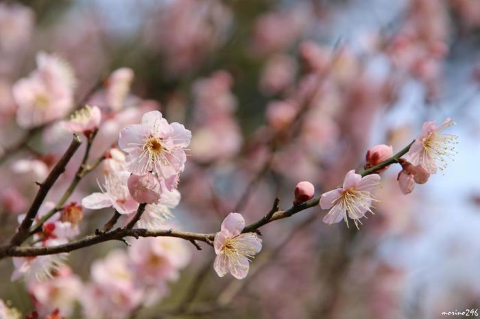 「梅園」とあるように、梅の種類は実に豊富。12,000坪もの広さを誇る園内には、59品種を数える梅の木が472本も植えられ、早咲、中咲、遅咲の梅が、季節に合わせて咲き継ぎます。【桜のように儚げな花姿の「紅冬至」】