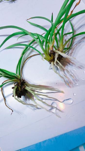 「オリヅルラン」の子株は多肉植物のように土の上に直接置いていると根付くほど丈夫!可愛い子株でいろんなアレンジが楽しめそうですね♡