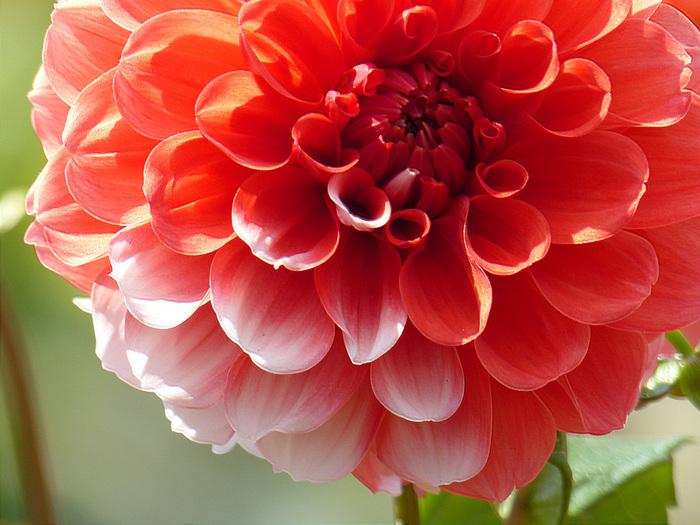 ダリアは、幾重にも重なる花びらが優美で、とても存在感のある植物。ナポレオンの妻、ジョセフィーヌが愛した花として知られ、またメキシコの国花でもあります。