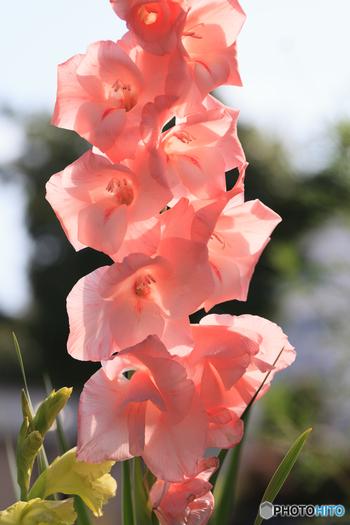 春に植える品種は、南アフリカ原産のもので、夏咲きグラジオラスと呼ばれます。花の大きさが15㎝を超えるものから5㎝ほどの可愛いものまで、種類が豊富。原種は300種以上、改良品種は5000種を超えるとか。