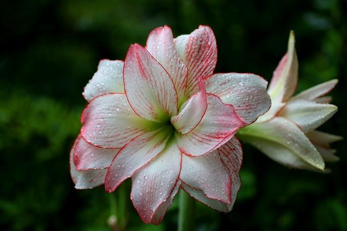 アマリリスは、ユリのような大輪の花を咲かせる、ヒガンバナ科の植物。優美で気品のあるたたずまいは、地植え、鉢植えのほか、切り花としても人気でフラワーアレンジメントにもよく使われます。
