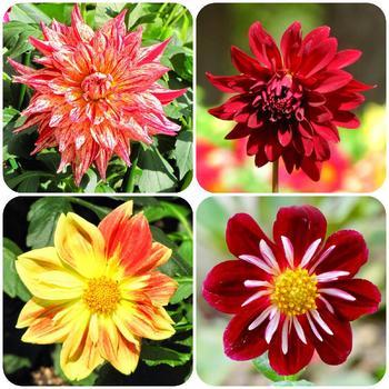 ダリアは、皇帝ダリア、満天などとても種類が多く、咲き方もボール咲き、ポンポン咲き、変わり咲き、超巨大輪などさまざま。ダリアにこだわって、いろんな種類を植えるのも楽しいです。ダリアの球根の植え付け時期は3月下旬~5月頃。開花時期は、7~10月。