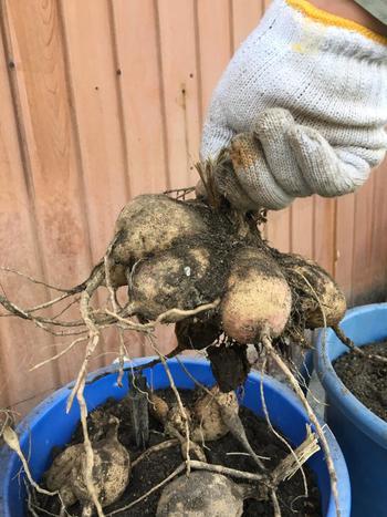 ダリアは、塊根に茎の一部が付いており、そこから芽が出るので、茎の部分を上にして、土が10㎝ほどかぶるように植えます。水やりは、鉢植えの場合は土が乾いたらたっぷりと。また、倒れやすいので必ず支柱を立てます。そして、秋が過ぎる頃、来年のために球根を堀り上げましょう。