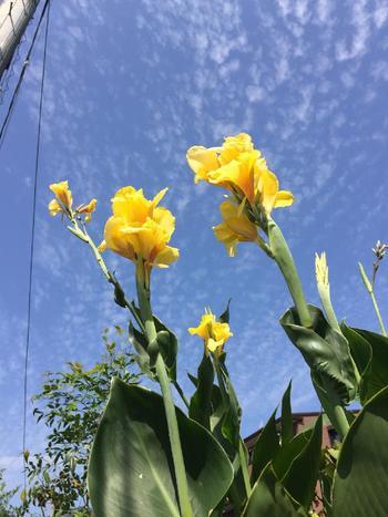 長く伸びた茎の先にいくつも花が…。でも、じつは花のように見える部分は、雄しべが変化したものだそうです。球根は、しょうがのような特徴的な形です。カンナの植え付け時期は、4~5月。カンナは、寒さが残る時期に植えると芽が出ないので、暖かくなってからがおすすめ。開花は、6~11月。