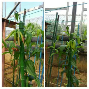 球根の先端から芽が出ているのを確かめてから、日当たりのいい場所に植え付けます。芽を上にして縦に置き、球根の上に土が5㎝程度かかるようにします。長期間花咲くので、月に1回肥料を。また、秋に葉が枯れたら、球根を掘り上げて保管します。
