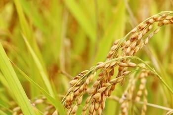 玄米の種(たね)に含まれる「アブシジン酸(ABA)」とは植物ホルモンの一種で、植物の発芽を調節しています。 このABAは、私達の細胞内のミトコンドリアに対して毒性を持っています。ミトコンドリアは、体温維持などエネルギー代謝にとって重要な役割を果たしているので、悪影響を受けると低体温になったり、不妊になったり、免疫力が低下し、癌など様々な病気にかかりやすくなります。