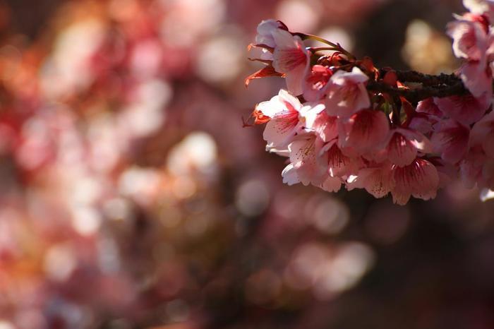 首都圏から近くとも、「熱海」は、伊豆半島の温暖な気候に包まれた地。春の訪れは早く、毎年1月から梅も桜も咲き出します。 【「あたみ桜」は、沖縄の寒緋桜と並び、日本一早く開花します。例年1月から2月初旬に開花し、約一ヶ月の間咲き続けます。(画像は、3月上旬の「熱海梅園」に咲く「熱海桜」)】