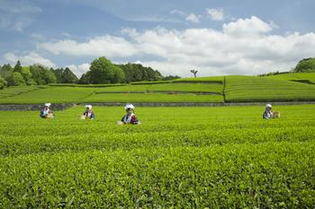 春が次第に終わりゆく、晩春の季節です。農作を始める季節でもあり、この頃に畑に種をまくと柔らかな春雨(はるさめ)が大地を潤し、作物が良く育ちます。5月2日頃には立春から八十八夜を迎え、茶葉の産地ではその年の初めてのお茶を作るための茶摘みが行われます。