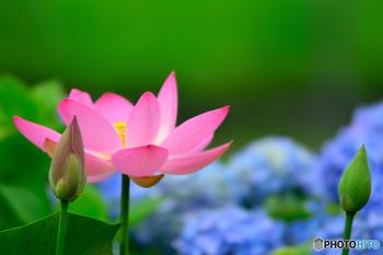 梅雨明けが近づき、次第に暑さが増していく季節です。蓮の花が咲き、夏の本格的な到来を告げる蝉の声が聞こえ始めます。この小暑から大暑までの約1か月のことを暑中といい、この間に暑中伺いを行います。