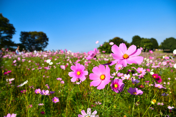 暑さが次第に和らぎ始める頃で、朝晩は涼しく初秋の気配が感じられます。秋桜や萩など秋の花も咲きはじめ、野分(のわき)と呼ばれる台風が近づいてきます。