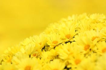 次第に秋が深まり、草木に白い露がつきはじめる季節です。空が高くなり、朝晩はやや肌寒さを感じるようになります。実りの秋が近づきますが、同時に本格的な台風シーズンを迎えます。9月9日には重陽(ちょうよう)の節句として、菊の花を飾ったり花びらを浮かべた酒を飲んだりして、長寿を願います。