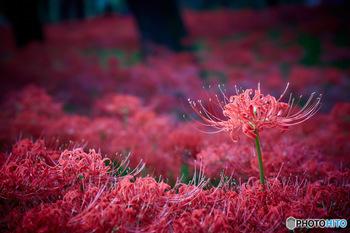 昼と夜の長さがほぼ同じになる日で、この日から昼よりも夜が長くなります。この日の前後7日間が秋の彼岸となり、春の彼岸と同じく魔除けとなる朱色の小豆を使った「おはぎ」を供えます。両者は実は同じもの。小豆をそれぞれその季節に咲く「牡丹」と「萩」の花に見立てて、季節によって呼び方を変えています。