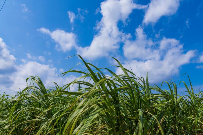 今回ご紹介した中部と南部・北部では、那覇中心部ではすでに消えてしまったサトウキビ畑もあたりまえの風景として目にすることができます。海や空とともに楽しみたい沖縄の光景のひとつとしておすすめです。