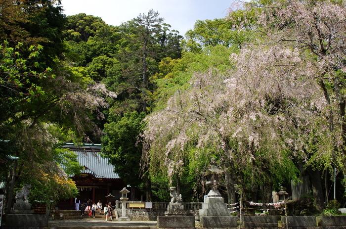 """""""あたみ桜""""を見逃しても、熱海には3月から4月に咲き開く桜の名所が数々あります。 中でも有名なのが「熱海城」と「熱海姫の沢公園」、先に紹介した「伊豆山神社」です。この3つの桜の名所は、どこも相模湾が一望でき眺望が見事です。桜の季節でなくても訪ねる甲斐があるスポットです。  【画像は、4月上旬の伊豆山神社境内。桜の名所として知られる当神社の中で特に素晴らしいのが、境内参道の両側の一重と八重の枝垂れ桜です。】"""