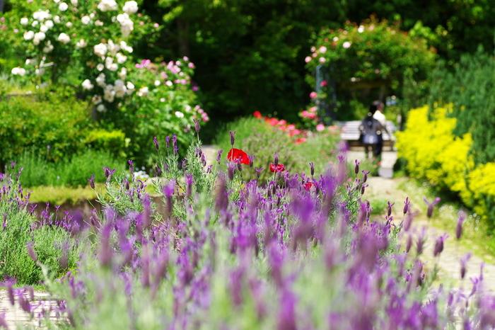 特に有名なのが、世界各地から集められた多種多彩のバラとハーブ。バラの最盛期となる5月中旬から6月初旬は、園内は華やぎ、多くの観光客で賑わいます。【5月中旬頃の園内】
