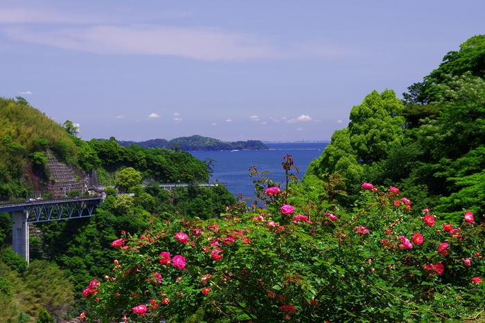 この「錦ケ浦」の地形を存分に活かした「アカオハーブ&ローズガーデン」は、20万坪もの敷地面積を誇る花の園です。 【画像は、バラが最盛期の5月下旬の頃。海の向こう見えるのは、真鶴半島。】