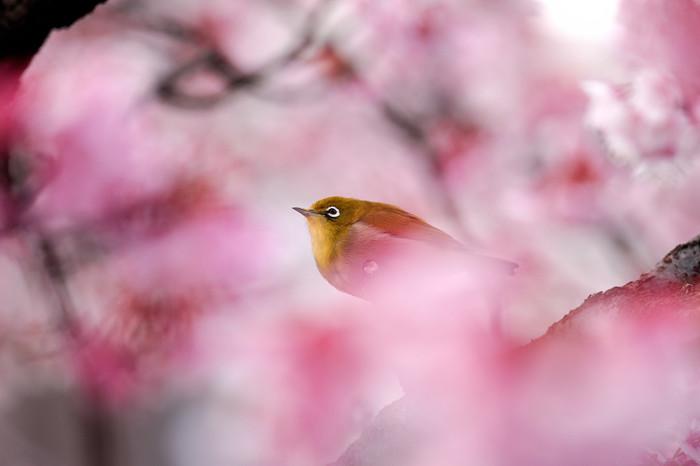 """【日本一早く咲く""""あたみ桜""""】"""