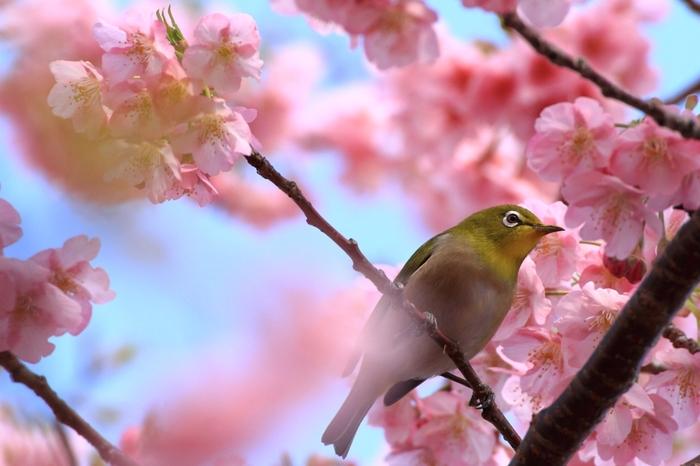 こんな可愛らしいメジロにも出会えるかも!?青い空、ピンクの桜、鶯色のメジロ。色彩豊かな春の風景は、見ているだけで元気な気持ちにさせてくれますね。
