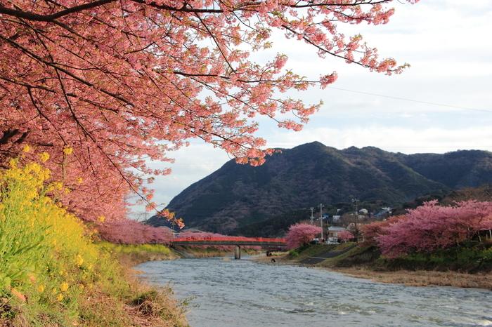 静岡県の伊豆半島 賀茂郡河津町では、毎年この時期に「河津桜まつり」が開催され、「河津桜」という早咲きの桜を鑑賞することができます。桜だけでなく、たくさんの菜の花も咲き、ピンクと黄色で彩られた美しい景色が堪能できるこの地に訪れれば、早春の息吹を感じることができるはず。