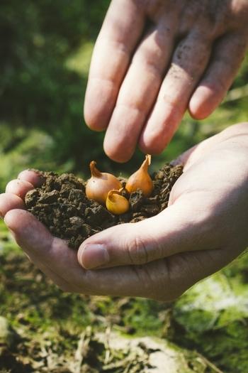 春植えの球根植物は、初心者の方も安心して始められますのでおすすめですよ。