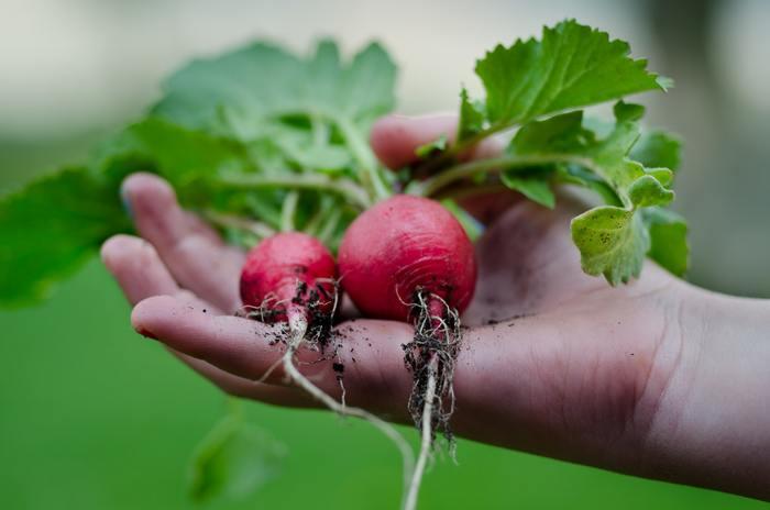 有機栽培農家は収穫した農産物を大手の販売ルートを使わず、オンラインショップを活用して消費者に直接販売したり、地元の販売先に卸したりと販売先にこだわるところが多いのだそう。 その結果、流通にかかる時間が通常よりも短くなり、採れたてに近い新鮮な野菜を食べることができるんです。